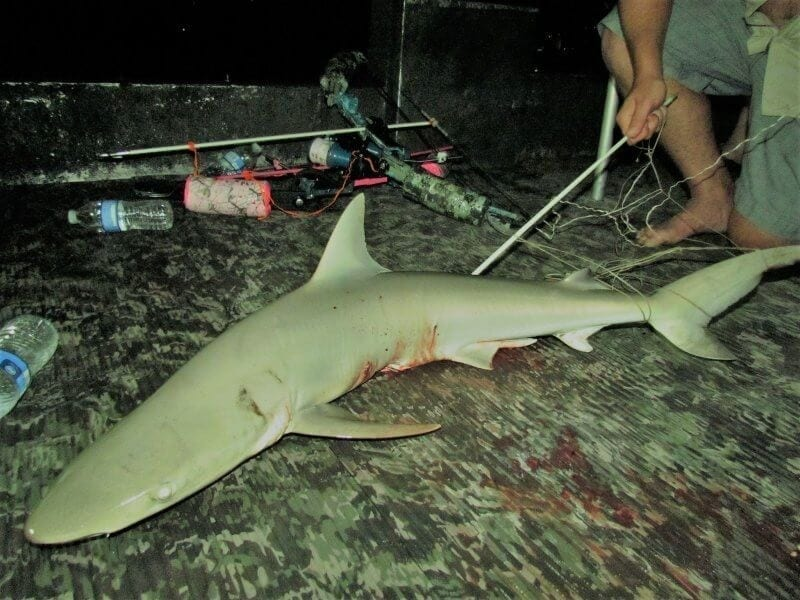 Night time Shark Bowfishing