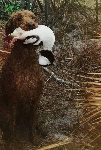 Dog Holding Bufflehead Duck