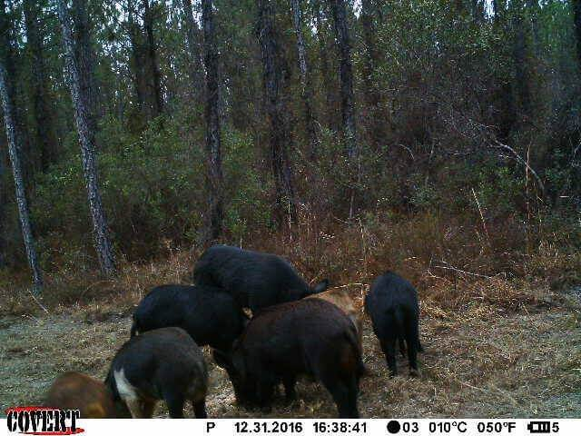 Trail Camera Showing Hogs