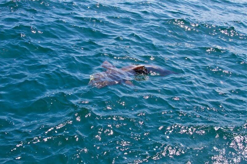 Cobia in Water