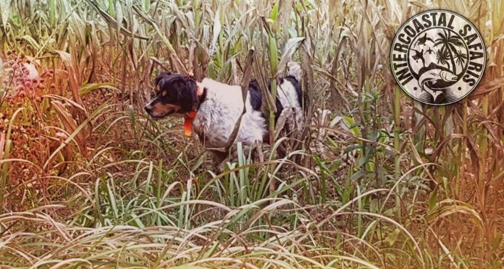 South Alabama Quail Hunting 12