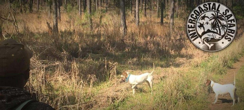 South Alabama Quail Hunting 10